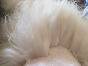 Willa's 90-Day Coat During Shearing